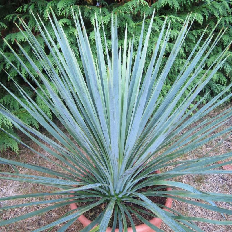 Yucca linearifolia blue x Yucca treculeana caniculata