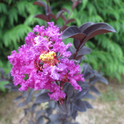 Lagerstroemia purely purple