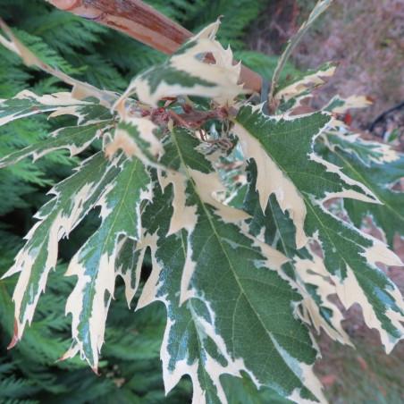 Quercus cerris variegata