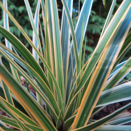 Carex evercolor® everglow