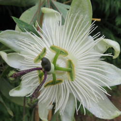 Passiflora snow queen®