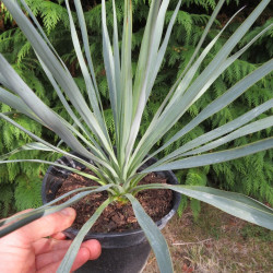 Yucca gloriosa x rostrata