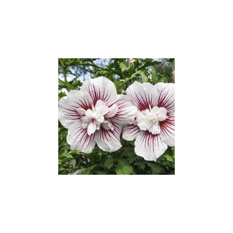 Hibiscus starburst chiffon®