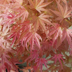 Acer palmatum butterscotch®