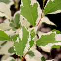 Styrax japonica variegata