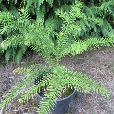 Araucaria montana