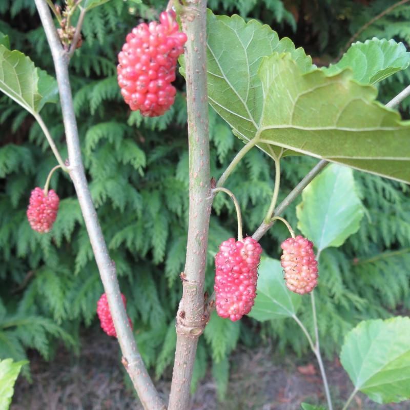 Morus mojo berry