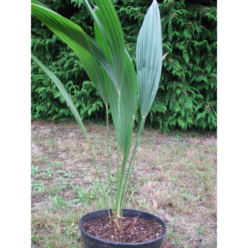 Trachycarpus nanus