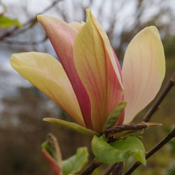 Magnolia woodsman