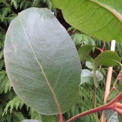 Eucalyptus alpina