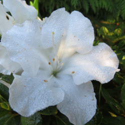 Azalea encore® pure white
