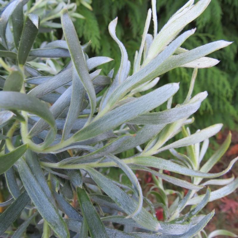 Leucadendron gypsy silver