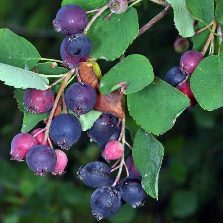 Amelanchier alnifolia Saskatoon berry®
