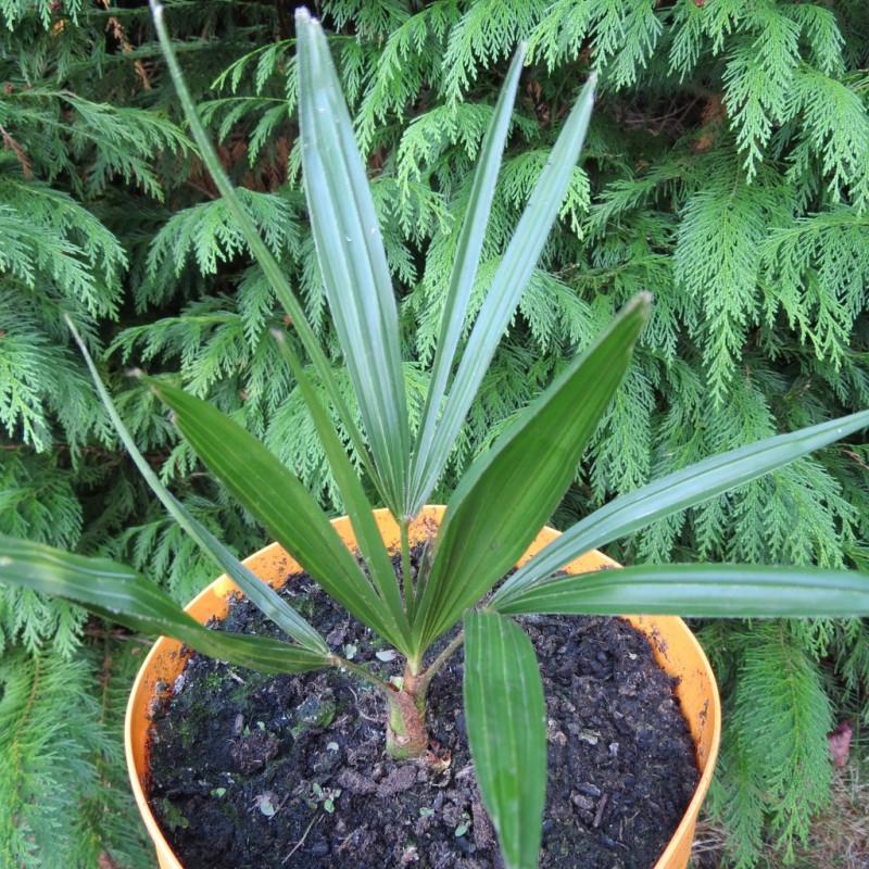 Trachycarpus naggy x wagnerianus