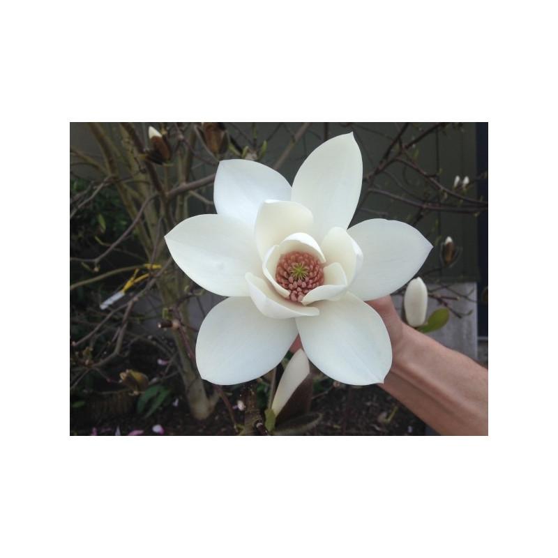 Magnolia joli pompon