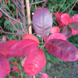 Amelanchier canadensis rainbow pillar®