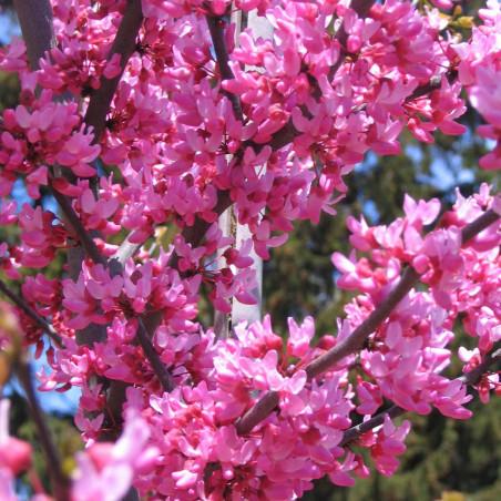 Cercis Appalachian red