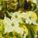 Cornus tri-splendor
