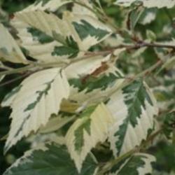 Betula nigra shiloh splash