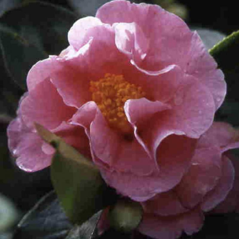 Camellia Lasca beauty