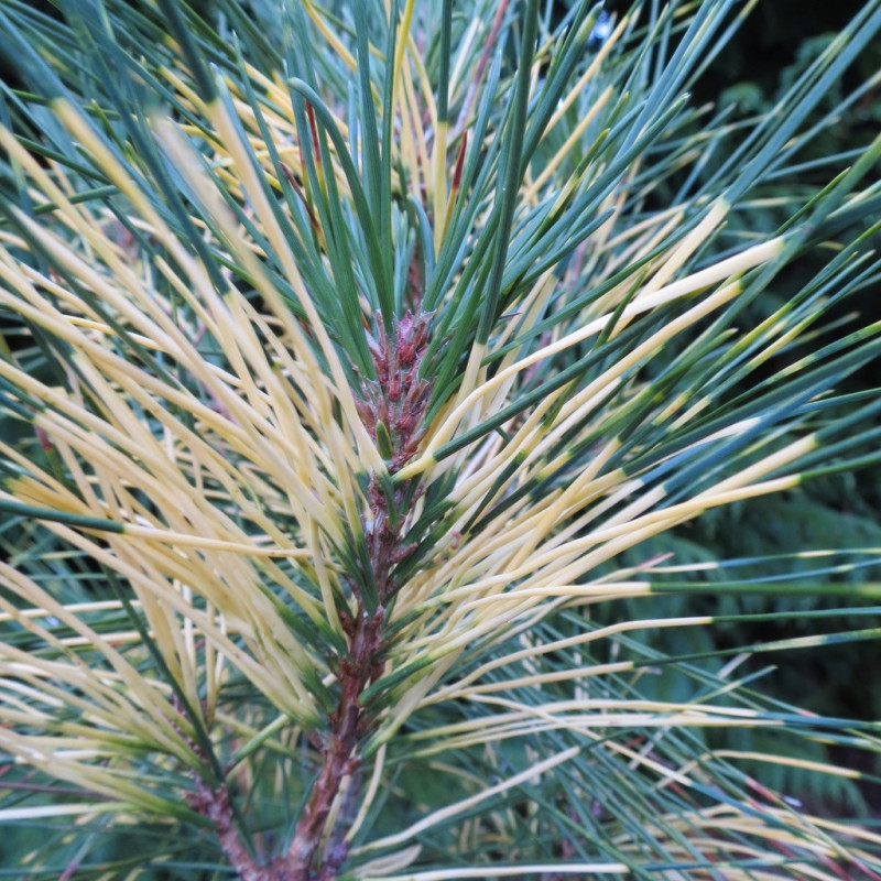 Pinus densiflora golden ghost