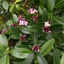 Daphne sweet amethyst