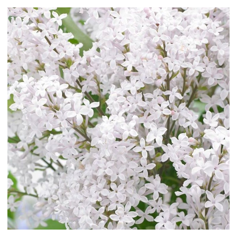 Syringa flowerfesta white®