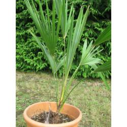 Trachycarpus oreophilus
