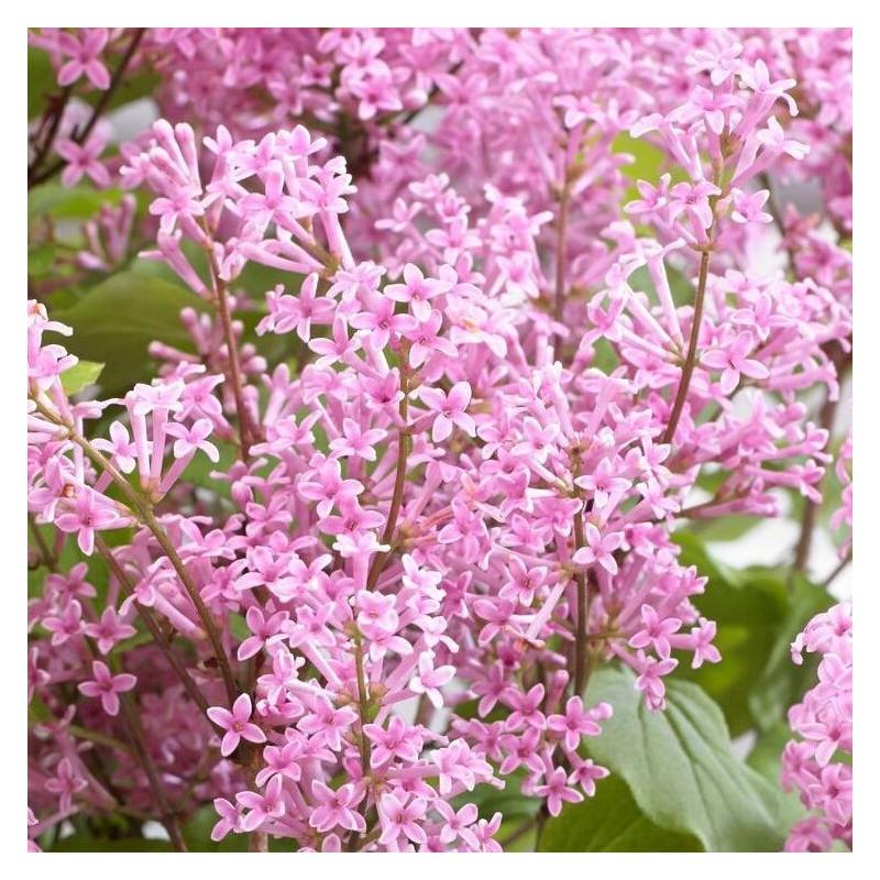 Syringa flowerfesta pink®
