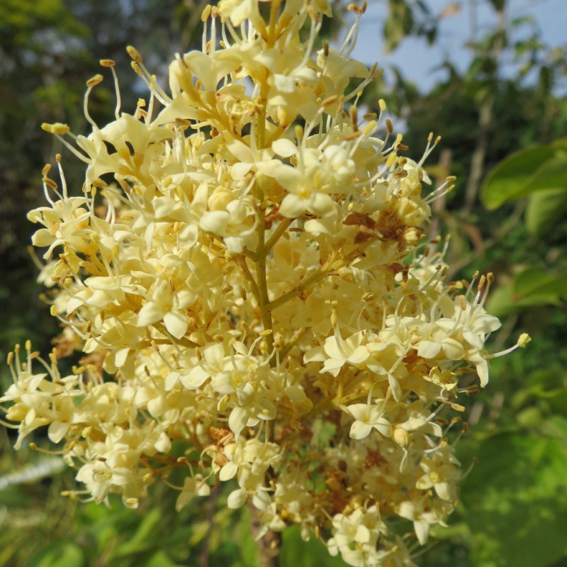 Syringa pekinensis 'yellow fragrance'