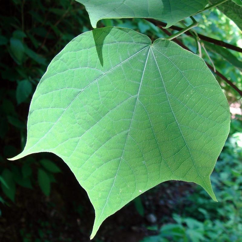 Alangium platanifolium macrophyllum