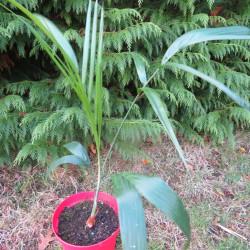 Chamaedorea radicalis (with trunk)