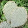 Opuntia scheeri
