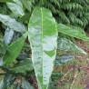 Aucuba japonica longifolia