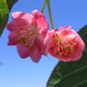 Actinidia purpurna sadowa