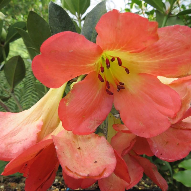 Rhododendron vireya Oogappel