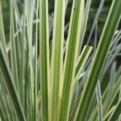 Lomandra white sands