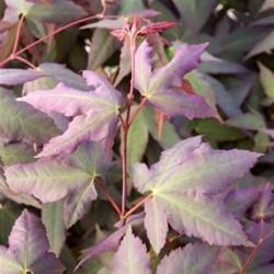 Acer palmatum mystic jewel®