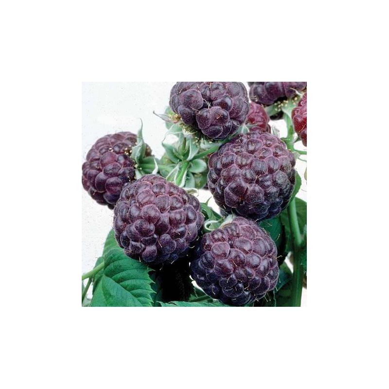 Rubus idaeus Glen Coe
