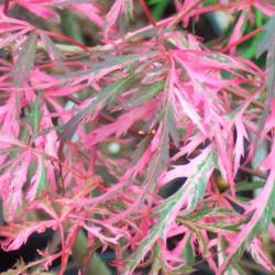 Acer palmatum hana-matoi