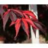 Acer palmatum Fujinami Nishiki