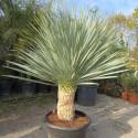 Yucca rostrata blue swan 45 l