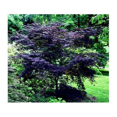 Acer palmatum black lace®