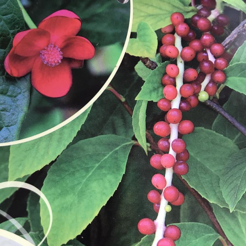 Schisandra rubiflora
