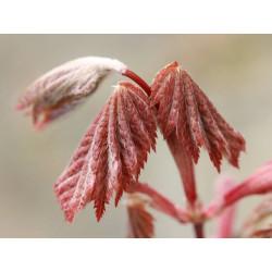 Acer japonicum ruby