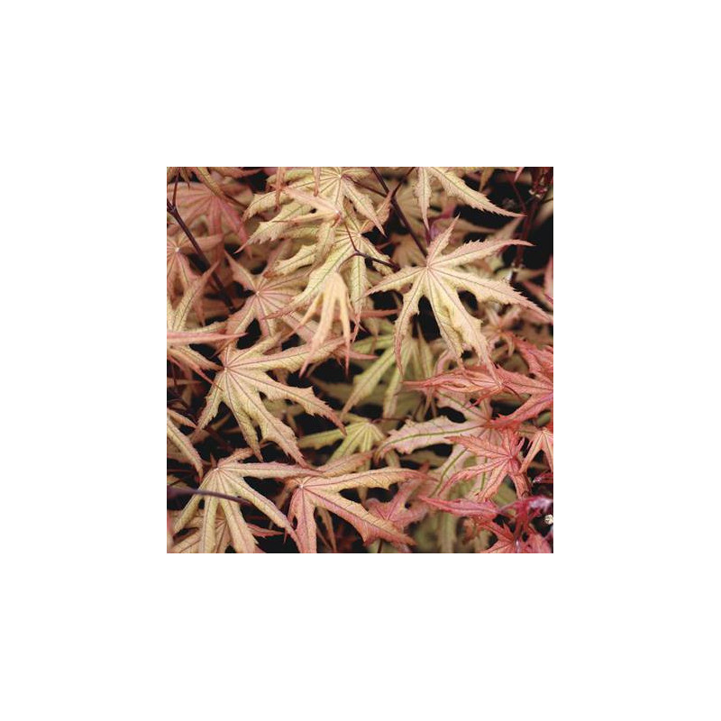 Acer palmatum amber ghost