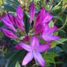 Azaleodendron x gowenianum