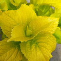 Hydrangea lemon daddy