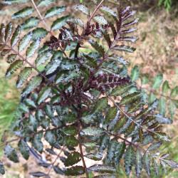 Zanthoxylum purple leaves