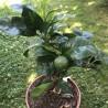 Citrus sinensis fukumoto